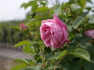 Rosa chinensis multipetala