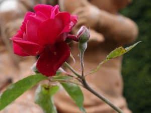 Hex-272-Rosa-indica-rubra-800x600-copyright-Hex