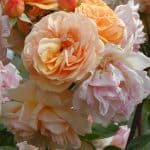 Hex 272 Austin rozen Chaucer 800x600 copyright Hex-BernardLafaut-MiltonNurse