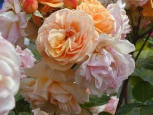 Hex 272 Austin roses Chaucer 800x600 copyright Hex-BernardLafaut-MiltonInfirmière