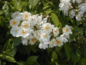 Hex 272 Multiflora Hybriden   Unidentified 800x600 copyright Hex-BernardLafaut-MiltonNurse