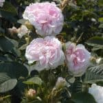 Hex 272 Rosa Alba Maiden's Blush 800x600 copyright Hex-BernardLafaut-MiltonNurse