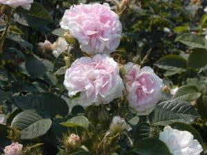 Hex 272 Rosa Alba Blush de jeune fille 800x600 copyright Hex-BernardLafaut-MiltonInfirmière