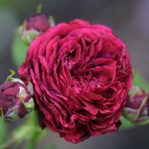 Hex 272 Rosa Gallica Andenken der Kur 800x600 Copyright Hex-BernardLafaut-MiltonNurse