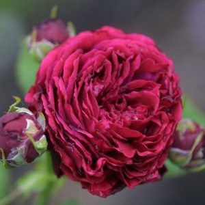 Hex 272 Rosa Gallica Souvenir de Spa 800x600 copyright Hex-BernardLafaut-MiltonNurse