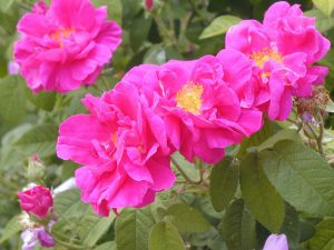 Hex 272 Rosa gallica officinalis 800x600 copyright Hex-BernardLafaut-MiltonNurse
