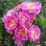 Rosa 'Gardens of Hex'