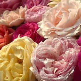 roses de daniel vierkant