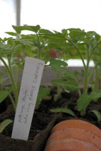 Hex16 tomaten SAM_1933