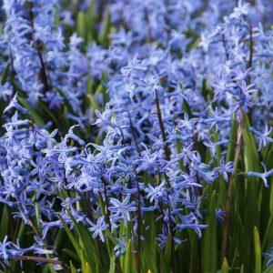 Hyacinthus-orientalis6